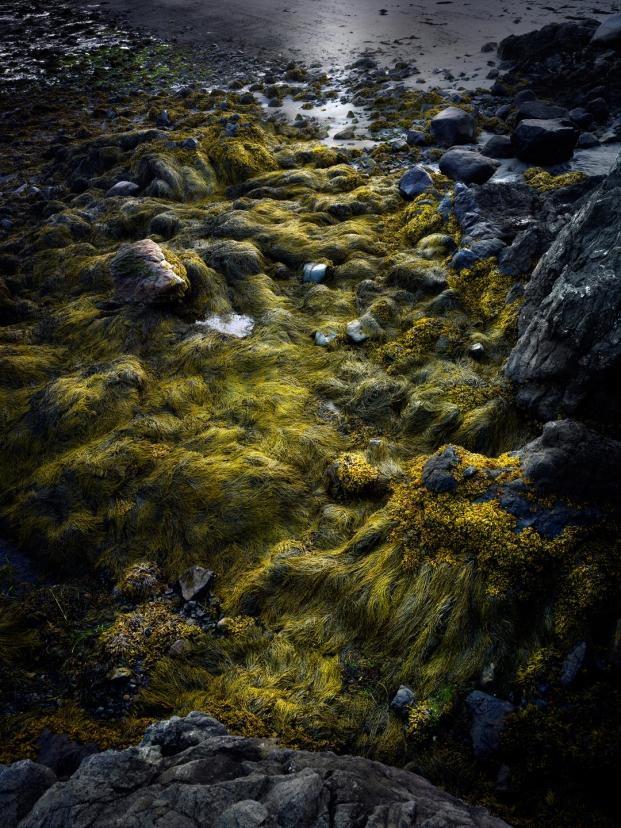 Seaweed, Maine